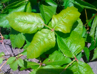 Stop the itch of poison ivy and avoid touching the plant in the first place